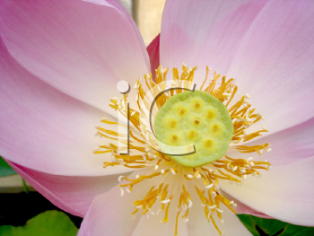 Royalty Free Photo of a Pink Flower