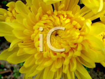 Royalty Free Photo of a Vibrant Yellow Flower