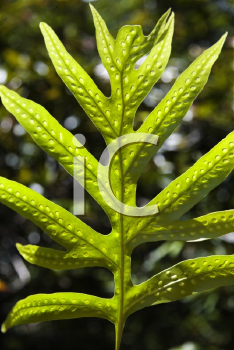 Royalty Free Photo of a Close-Up of Liriope Fern leaf in Maui, Hawaii, USA.