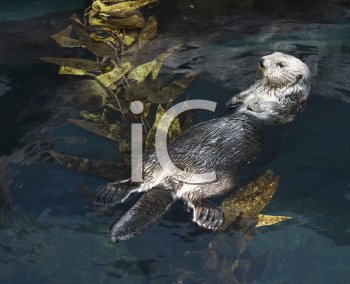 Royalty Free Photo of an Otter Swimming in an Aquarium in Lisbon, Spain