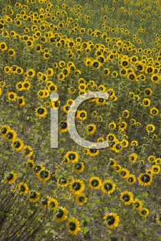 Royalty Free Photo of Sunflowers Growing in a Field in Tuscany, Italy