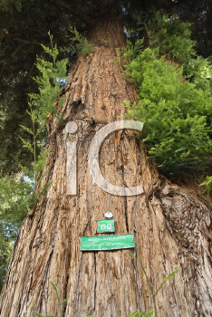 Royalty Free Photo of a Low Angle of a California Redwood Sequoia With Sign