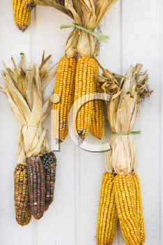 Royalty Free Photo of Fall Corn Decorations