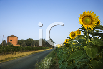 Sunflowers next to a rural road in Tuscany, with a blue sky as background. Horizontal shot.