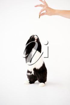 Miniature Black And White Flop Eared Rabbit Standing On Hind Legs For Treat Against White Background