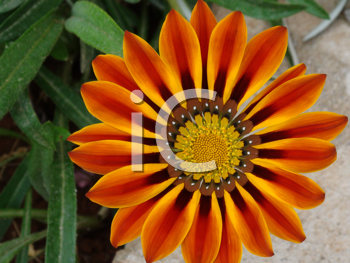 Royalty Free Photo of an Orange Flower