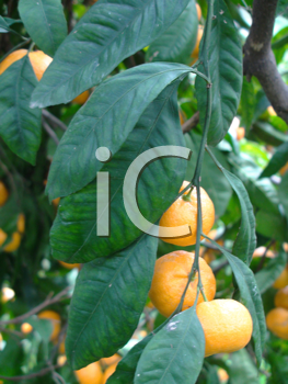 Royalty Free Photo of Tangerines on the Tree