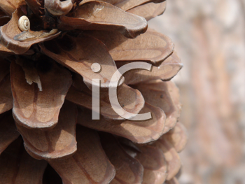 Royalty Free Photo of a Closeup of a Pine Cone