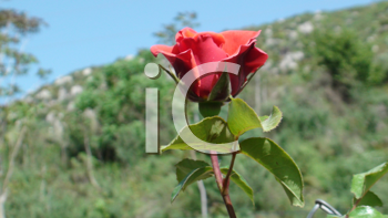 Royalty Free Photo of a Single Rose