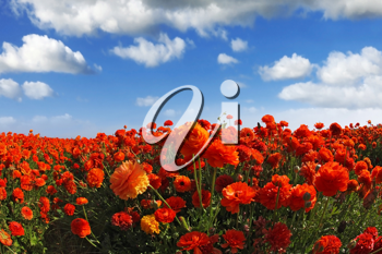 Picturesque field of the blossoming red-orange buttercups, photographed a lens  Fish eye