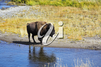 Bison on a watering place in well-known Yellowstone national park in USA