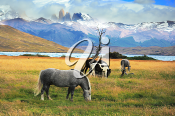 Gray and black horses grazing in a meadow near the lake. On the horizon, towering cliffs Torres del Paine