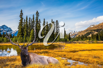 Beautiful nature of the Rocky Mountains of Canada. Red deer with branched antlers resting in the grass