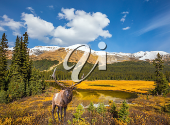 The beautiful nature in Rocky Mountains of Canada. Magnificent red deer with branched antlers grazes in the grass near the swamp