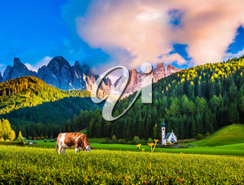 Charming rural landscape in the Dolomites. Sleek cow grazing in the grass. Magnificent serrated cliffs   in Tirol. The concept of eco-tourism