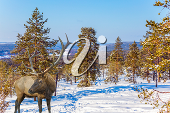 Concept of active and ecological tourism. Reindeer on an edge of the winter forest. Cold winter sunset in the Arctic