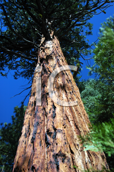 Royalty Free Photo of a Tall Tree in Kings Canyon National Park