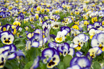 Purple, white and yellow flowers