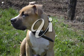 Close up of American Staffordshire Terrier
