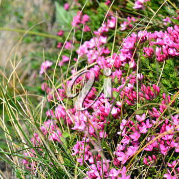 Pink wild lilac in alpine meadow
