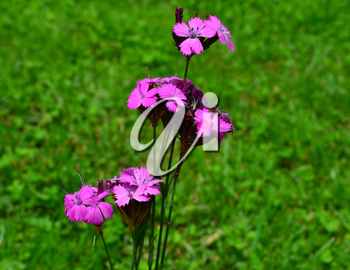 Dianthus carthusianorum (Carthusian Pink) on green meadow