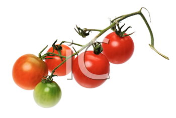 Branch of red tomatto, isolated on a white background