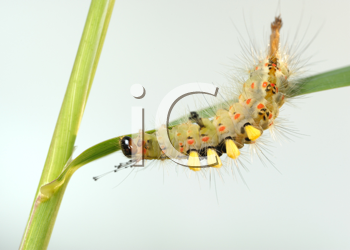 Royalty Free Photo of a Caterpillar With Tufts on a Leaf