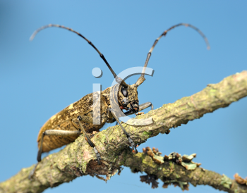 Royalty Free Photo of a Beetle Cerambycidae on a Dry Branch