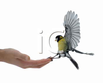 Royalty Free Photo of a Titmouse on a Boy's Hand