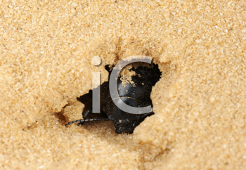 Royalty Free Photo of a Beetle Burrowing a Hole in the Sand