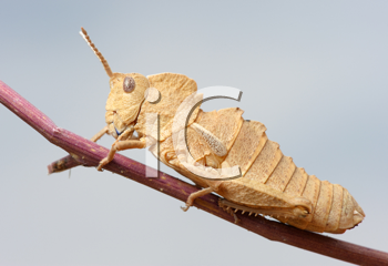 Royalty Free Photo of a Grasshopper on a Twig
