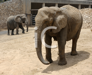 Royalty Free Photo of Elephants in a Zoo