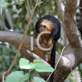 Royalty Free Photo of a Monkey in a Tree
