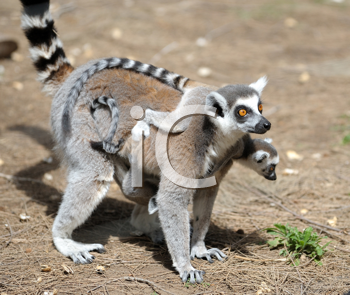 Royalty Free Photo of a Lemur and Baby