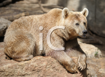 Royalty Free Photo of a Syrian Bear on a Rock