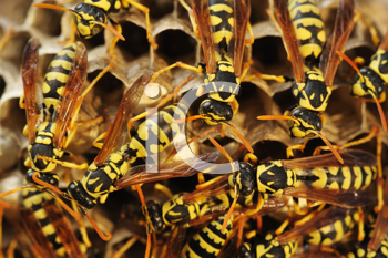 Royalty Free Photo of Wasps in a Nest