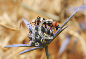 Royalty Free Photo of a Longhorn Beetle on a Flower
