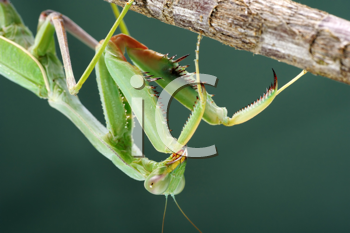 Royalty Free Photo of a Praying Mantis
