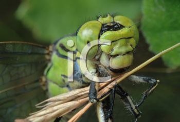 Royalty Free Photo of a Female Dragonfly With a Dried Stick