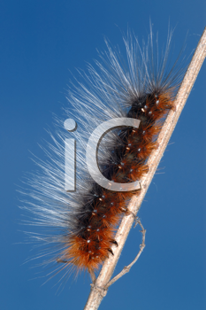 Royalty Free Photo of a Caterpillar on a Stick