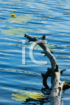 Royalty Free Photo of Water With Lilypads and a Tree Branch