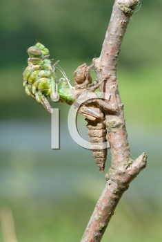Royalty Free Photo of a Dragonfly and Larva Skin on a Branch