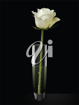 Detailed white rose in a glass vase on a black background,