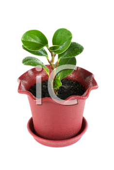 ficus plant at pot isolated on a white