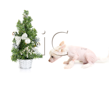 Chinese Crested puppy with firtree isolated on a white