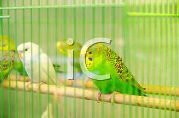beautiful parrots in cage
