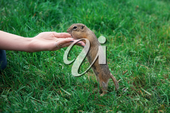 Woman hand feeding gopher in the summer park