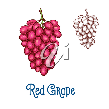 Red grape fruit isolated sketch. Bunch of ripe grape with pink berry for wine drink label, organic vineyard harvest symbol, healthy food and winery themes design