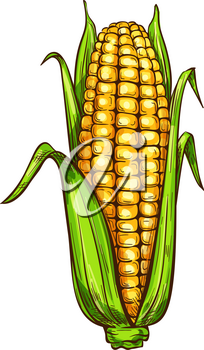 Maize corn sketch icon. Vector isolated symbol of grain plant corn cob or corncob ear vegetable with leaves for veggie salad or vegetarian grocery store and market design
