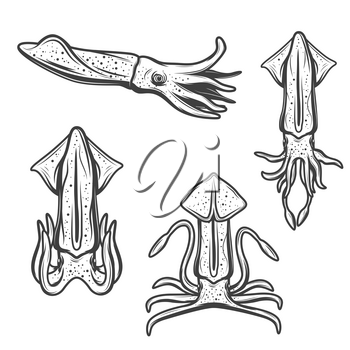 Squid isolated cartoon mollusk. Vector marine underwater animal with tentacles, sea fishing or ocean catch